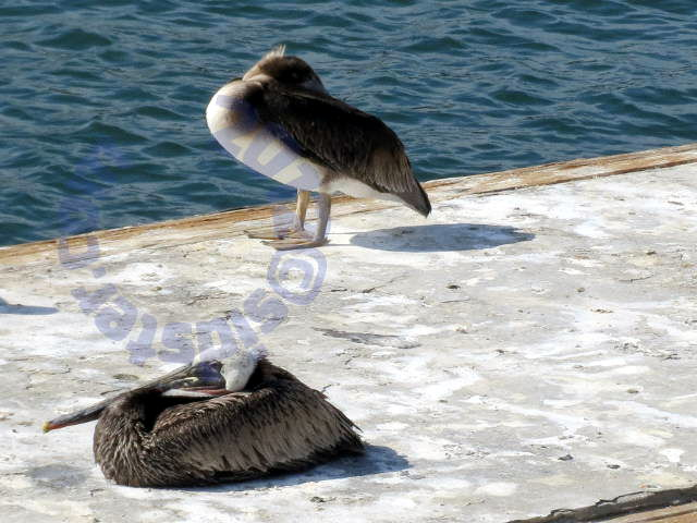 Pelicans resting on dock