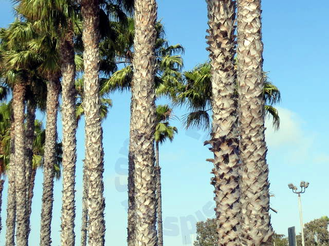 Rows of palms