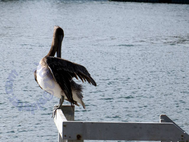 Pelican perched 3